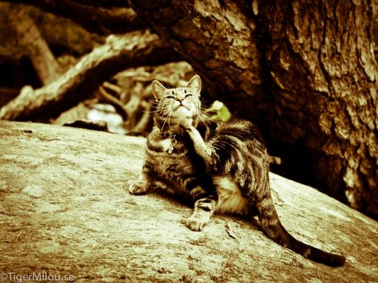 Tiger på berget