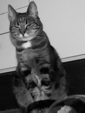 Katt i trans