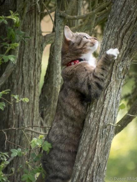 Katten Milou mot nya höjder