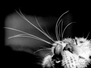 Katten Tiger - Whiskers