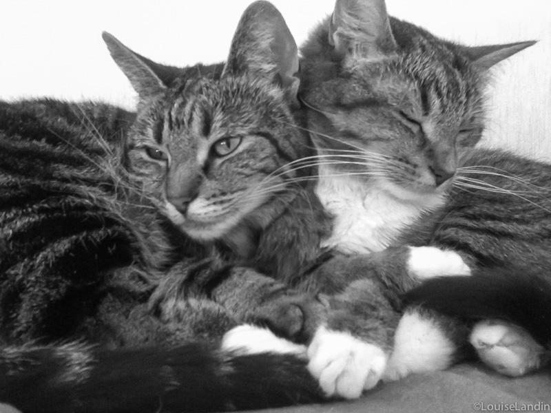 Katterna Tintin Tiger och Milou