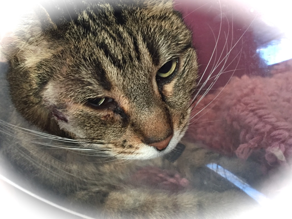 Katten Tiger olycklig i tratt efter operation bredvid ögat
