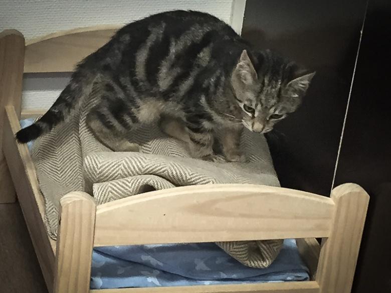 Kattungen Lasse-Maja på katthemmet.