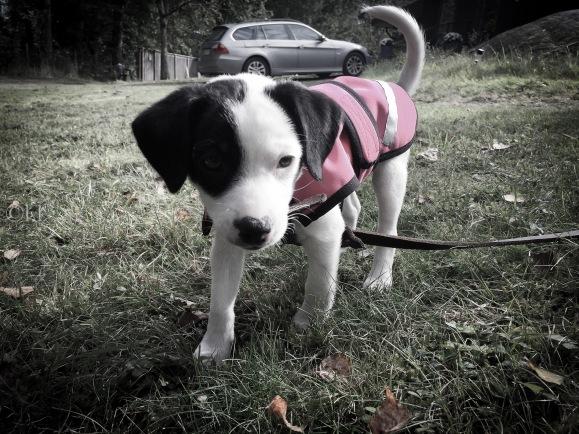 Hundvalpen Disa utomhus