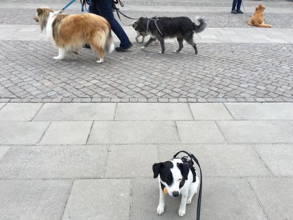 Disa stannar på plats trots att hundar passerar bakom henne.