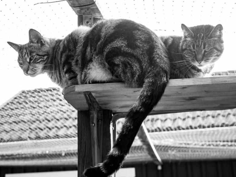 Tiger och Findus har blivit fina vänner sedan vi byggde kattgården