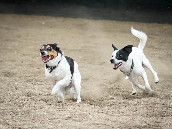 Elvis jagar kompis!