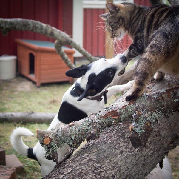 Disa och Findus i kattgården