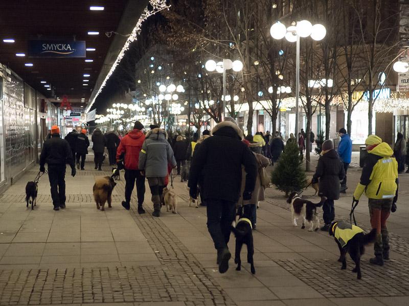 Femtiofyra hundar på promenad mot smällare. Gågatan, Södertälje