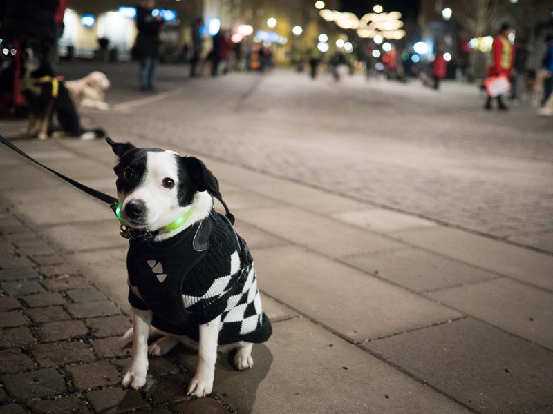 Disa inväntar instruktioner på hundpromenad för smällarupproret