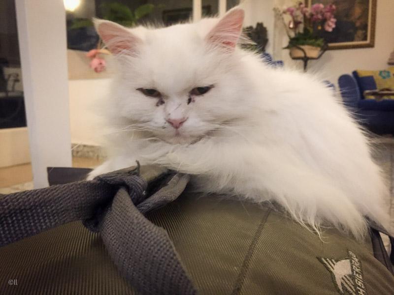 Vita katten Matisse vaktar gästernas bagage på hotell Gatto Bianco.