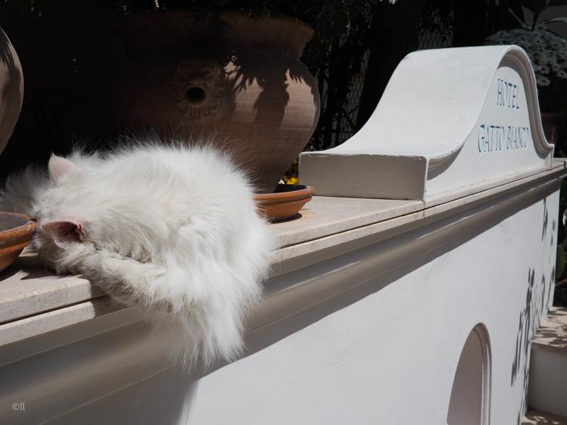 Vita katten Matisse på hotell Gatto Bianco.