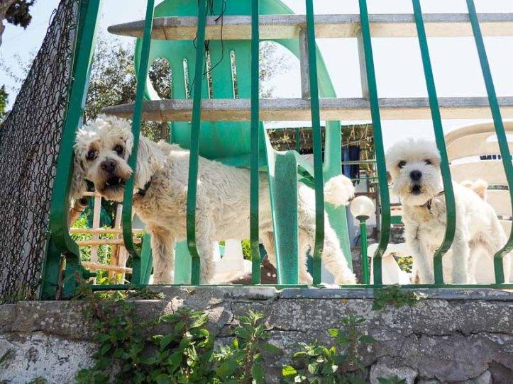 Två vita hundar tittar ut från sitt hem på Capri.