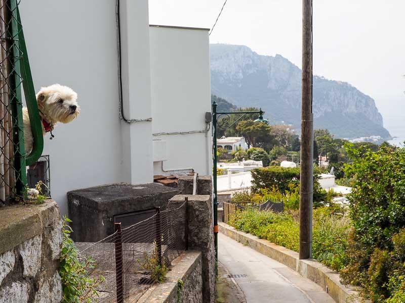 Hund njuter av utsikten över Capri.
