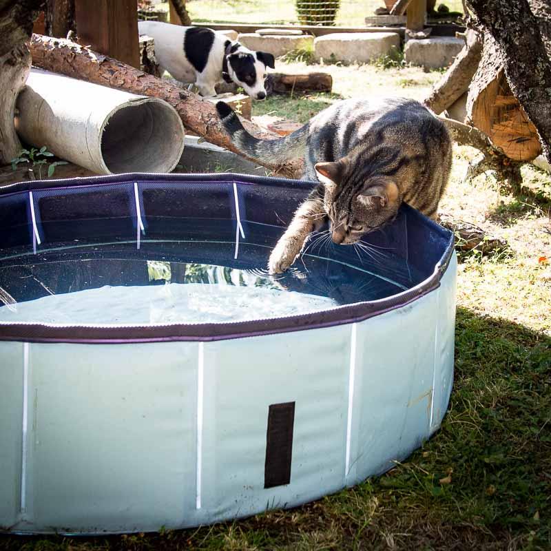 Katten Findus undersöker poolen, hunden Disa smyger misstänksamt i bakgrunden.