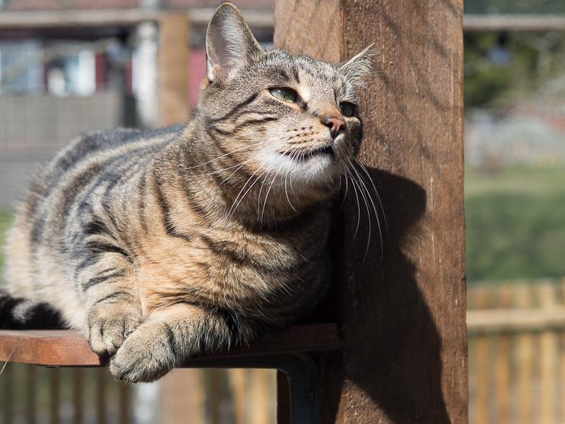 Katten Findus Pipnos softar i hyllan i kattgården