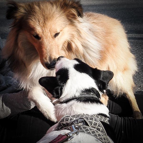 Disa nosar på Sheltie-hanne i sin sele från Hundekollektivet.