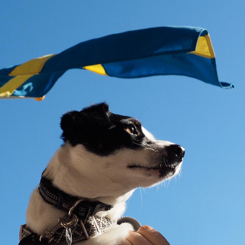 Dansk-svenska gårdshunden Disa och svenska flaggan