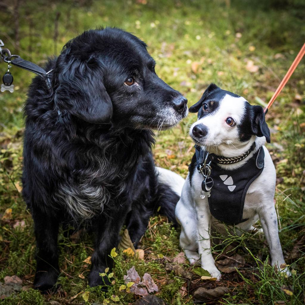 Hundar med nos på livet. Trolle och Disa är bästa vänner.
