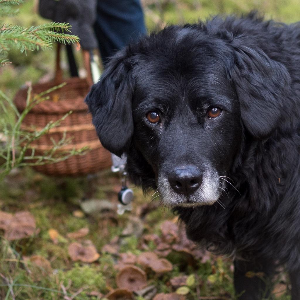 Hunden Trolle vaktar korgen med trattkantareller.